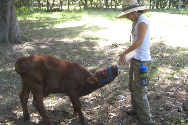 Angela Feeds a Calf
